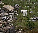 Mountain Goat by CarolM