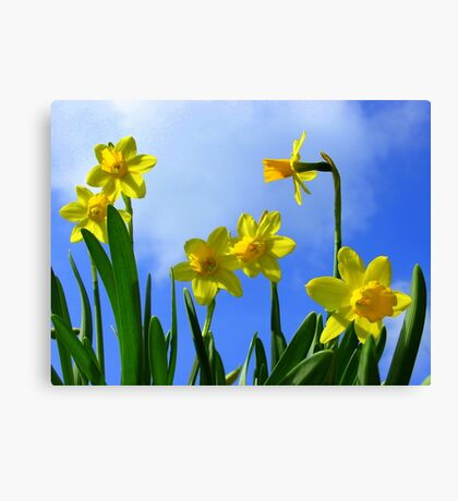 Narcissus in Sunshine Canvas Print
