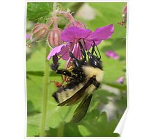 Bee On Cranesbill Poster