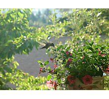 HUMMING BIRD EATING BREAKFAST Photographic Print