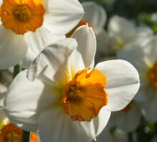 Sunny Side Up - Daffodils Blooming in a Fabulous Spring Garden Sticker