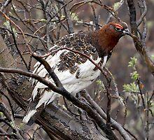 Willow Ptarmigan ~ State Bird of Alaska by Robert Elliott