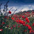 Filed of poppies by Edyta Pękala