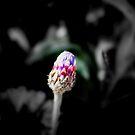 Budding Colour by Ashli Zis