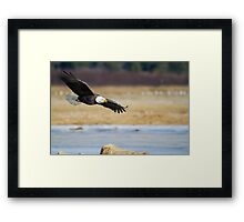 Watch out bald eagle Framed Print