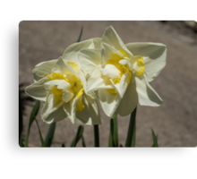Pastel Yellow Spring - a Pair of Double Daffodils Canvas Print