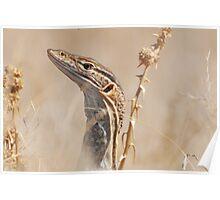 Sand Monitor (Varanus flavirufus) Poster