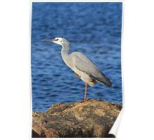 Waterbird resting leg, Dee Why Lagoon Poster