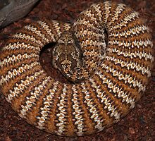 Dajarra Death Adder by Steve Bullock