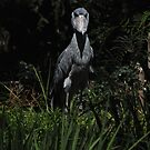 Shoe Billed Stork 1 by Anne Smyth