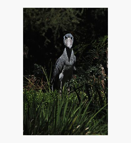 Shoe Billed Stork 1 Photographic Print