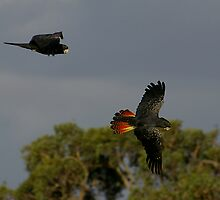 Red Tail Black Cockatoos by Biggzie