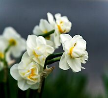 Little White Daffodils by sshhoirtt