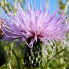 Thistle by stopthat