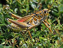 Colorful lubber grasshopper! by jozi1