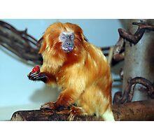 Golden Lion Tamarin Photographic Print