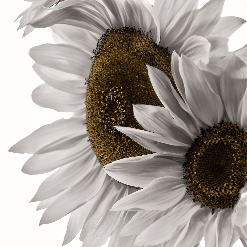 Softness White by Philippe Sainte-Laudy