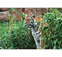 Siberian Tiger yawning Photographic Print