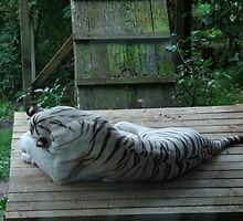 White Bengal Tiger 4 by Stan Daniels
