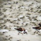 turnstones on a mission by NordicBlackbird