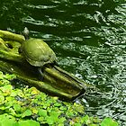 Turtle with Green Water by Guy Tschiderer
