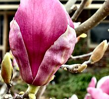 Magnolia Tree by Rachael Taylor