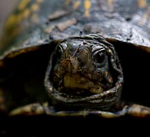 eastern box turtle (terrapene carolina) by jude walton
