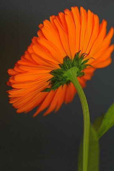Orange Back by cdwork