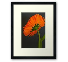 Orange Back Framed Print