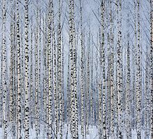 Birch forest by Forestpictures