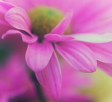 Pink Daisy by jpulley
