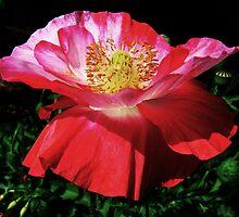 Poppy by JuliaWright