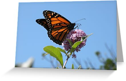 Last Year's Monarch by Trish Meyer