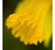 Golden daffodil Photographic Print