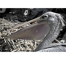 Pelican Pouch 1 Photographic Print