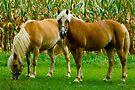 Amish Horses © by Mary Campbell