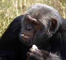 Chimpanzee by Rosie Appleton