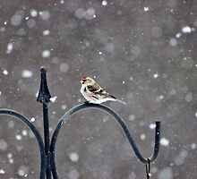 Common Redpoll I by Kathleen Daley