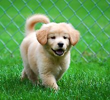 Golden Retriever Puppy by Christina Rollo
