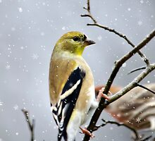 Christmas Goldfinch by Christina Rollo