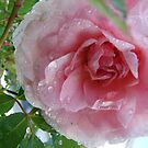 A Rose After the Rain by Diane Petker