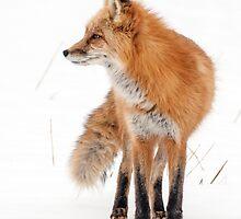 Fox in profile by Eivor Kuchta