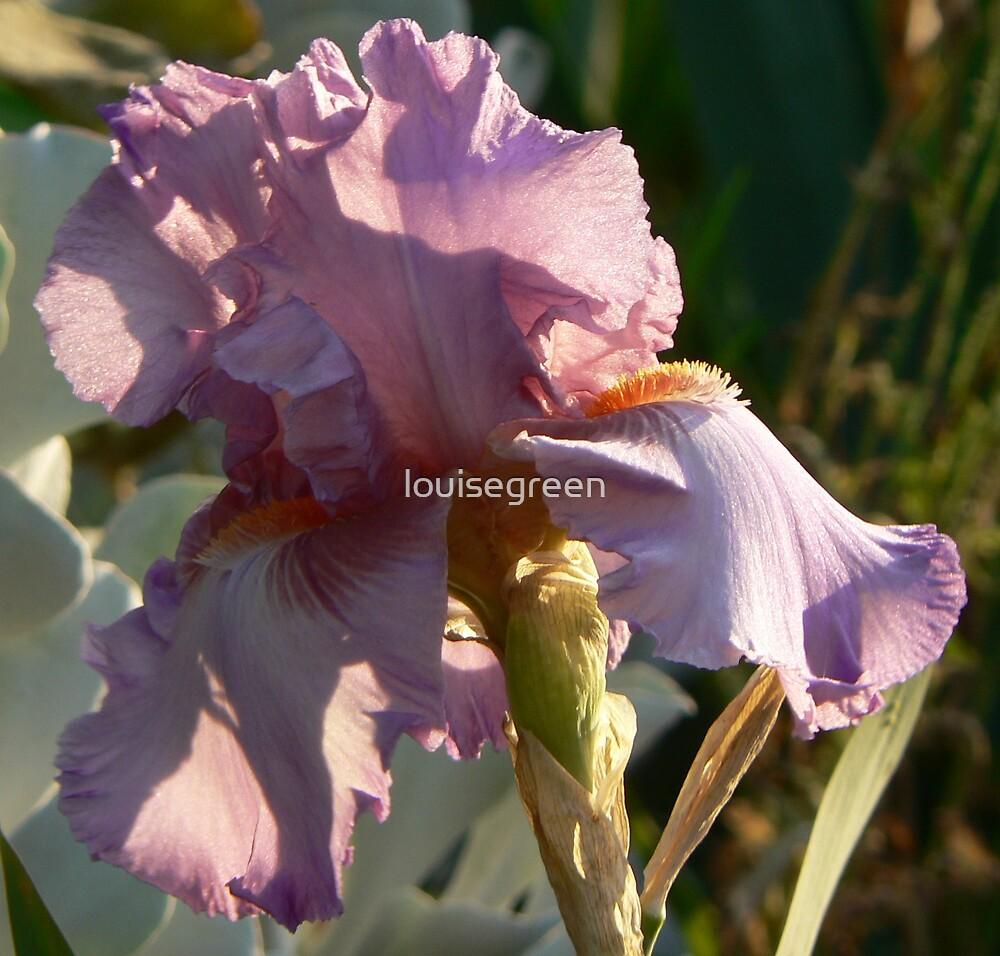 "Bearded Iris - ""Feminist"" by louisegreen"