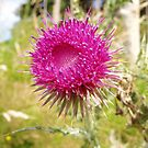 Musk Thistle by Tess Barnes