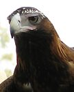 Another Wedge-Tailed Eagle by Jason Asher