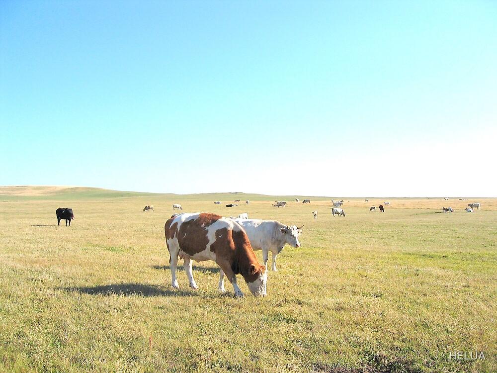 Cows Grazing by HELUA