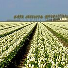 A  SEA OF WHITE TULIPS by Johan  Nijenhuis
