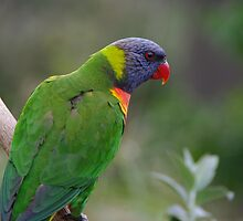 Parrot by Wzard