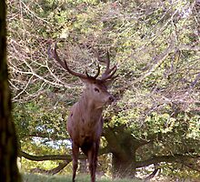 Stag Watching (Red Deer) by Trevor Kersley