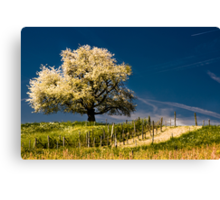 Blossoming cherry tree in spring Canvas Print